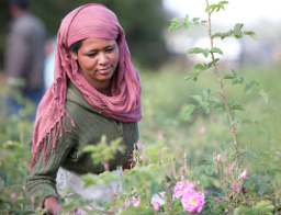 Dr Hauschka Rose Project Rose Harvesting in Ethiopia Beauty Over 40