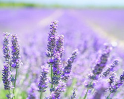 Lucky Lavender Beauty Over 40
