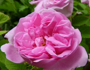 Damask Rose Beauty Over 40