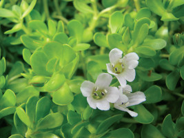 Bacopa Brain Awareness Beauty Over 40