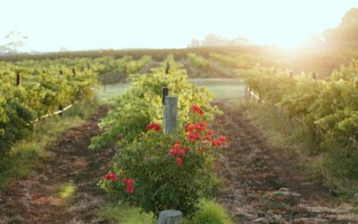 Healthier Party Choices – Angove Organic Wines